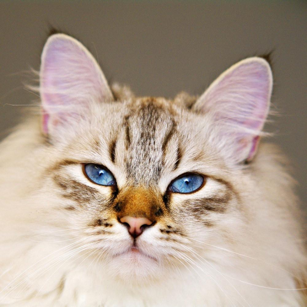 Фото невской маскарадной кошки.jpg