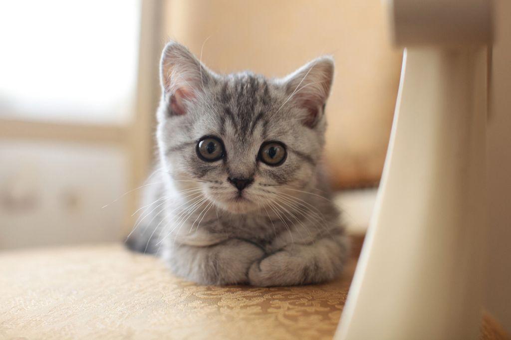 шотландцы коты фото прямоухие
