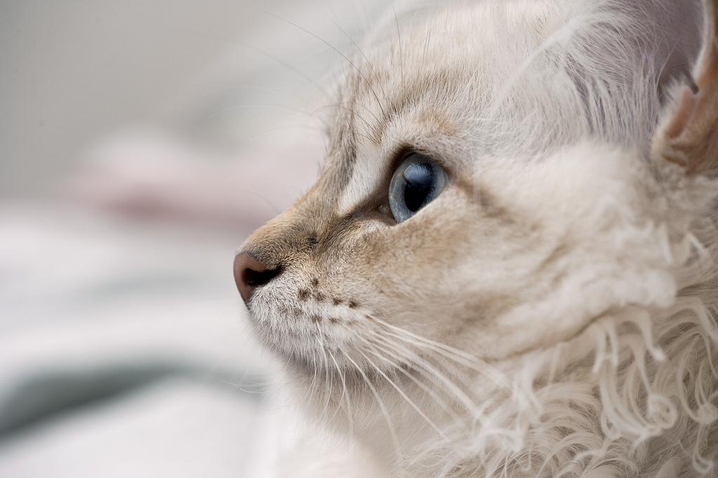 Кошка невская маскарадная описание фото.jpg