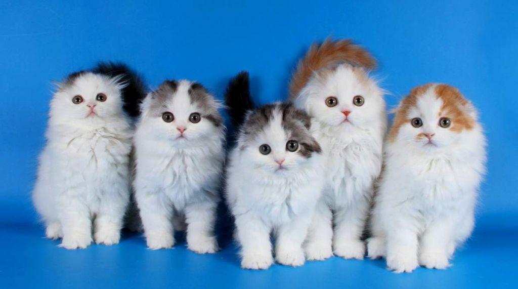 Шотландские котята особенности породы