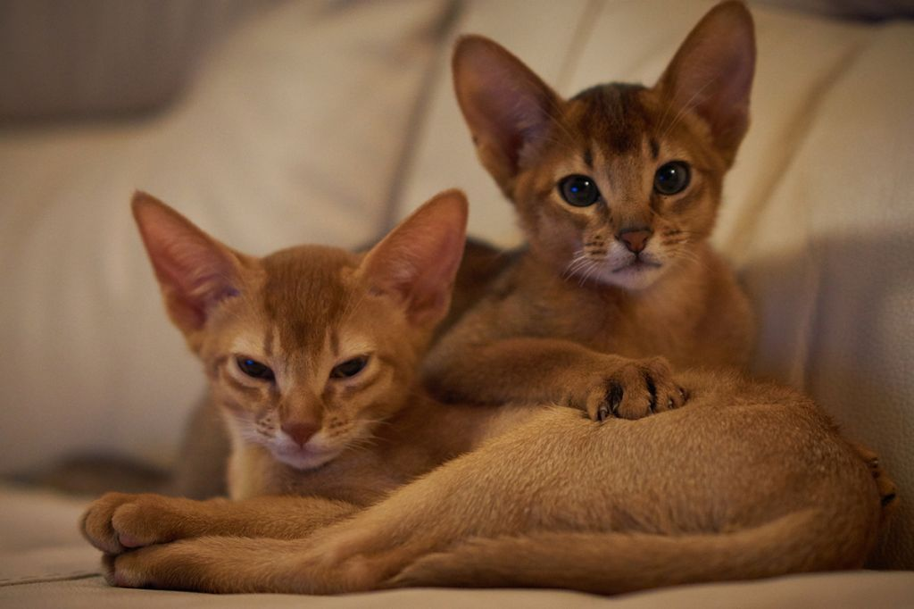 Фото котят абиссинской породы.jpg