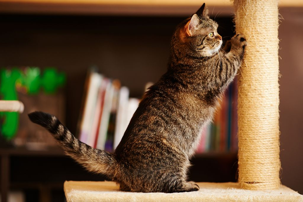 Фото кошки манчкин.jpg