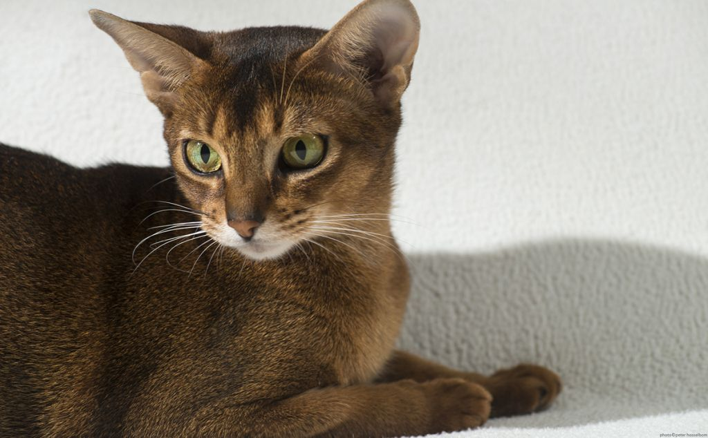 Кошка абиссинка фото.jpg