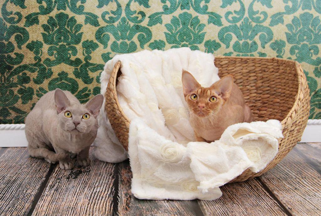 Кошки девон-рекс.jpg