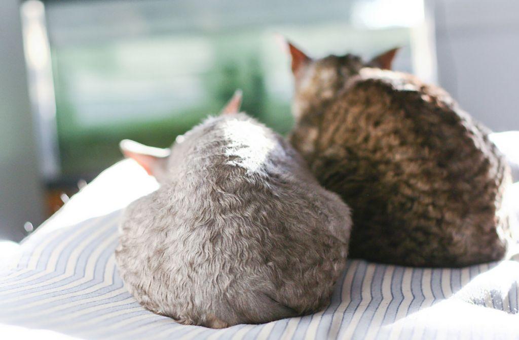 Кошки корниш-рекс.jpg