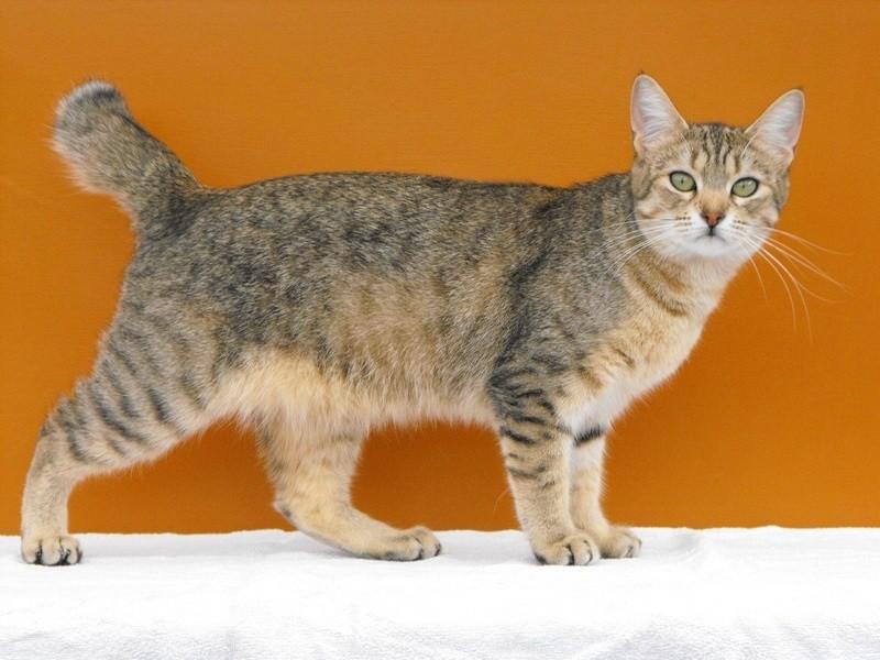 хитрости фото и название пород кошек всех домашних породистых такие блюда очень
