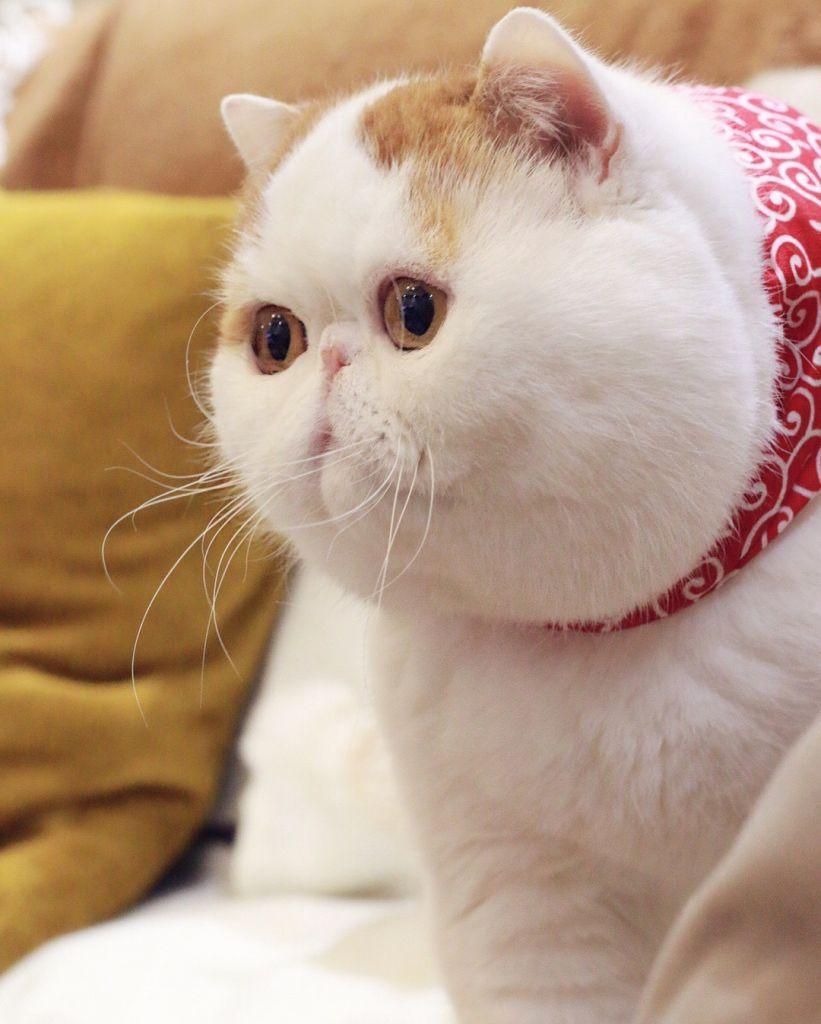 фото японского кота