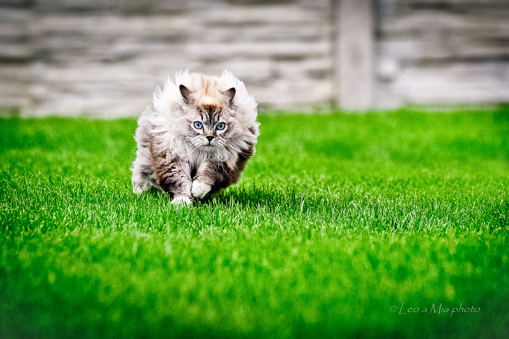 Кошка породы тряпичная кукла фото.jpg
