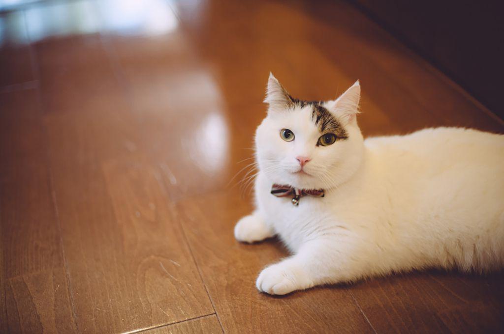 Кот манчкин фото.jpg