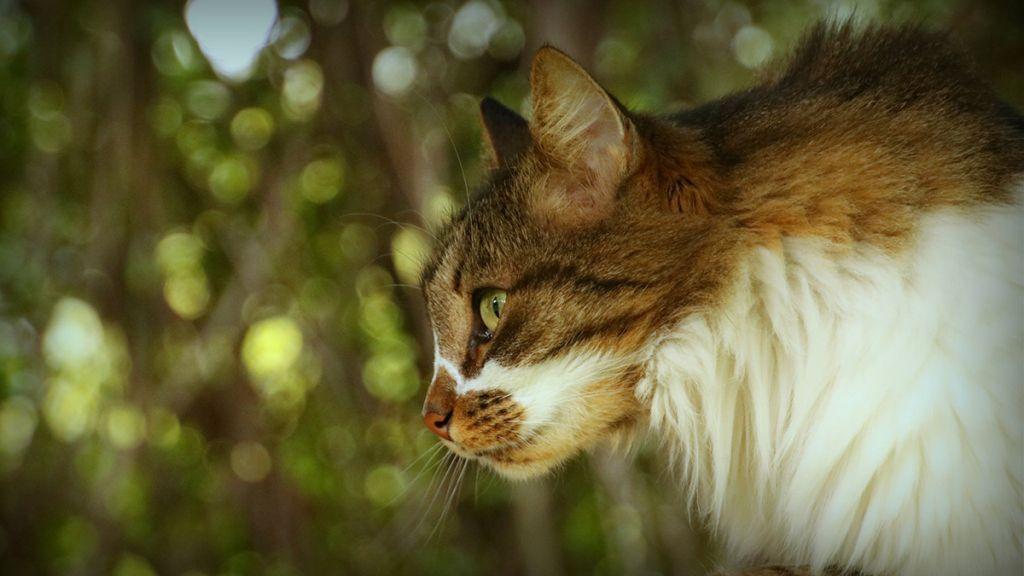 Сибирский кот.jpg