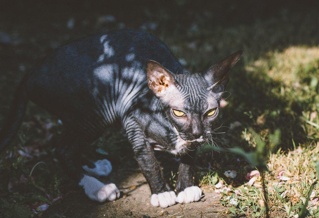 Кошка породы донской сфинкс велюр фото.jpg