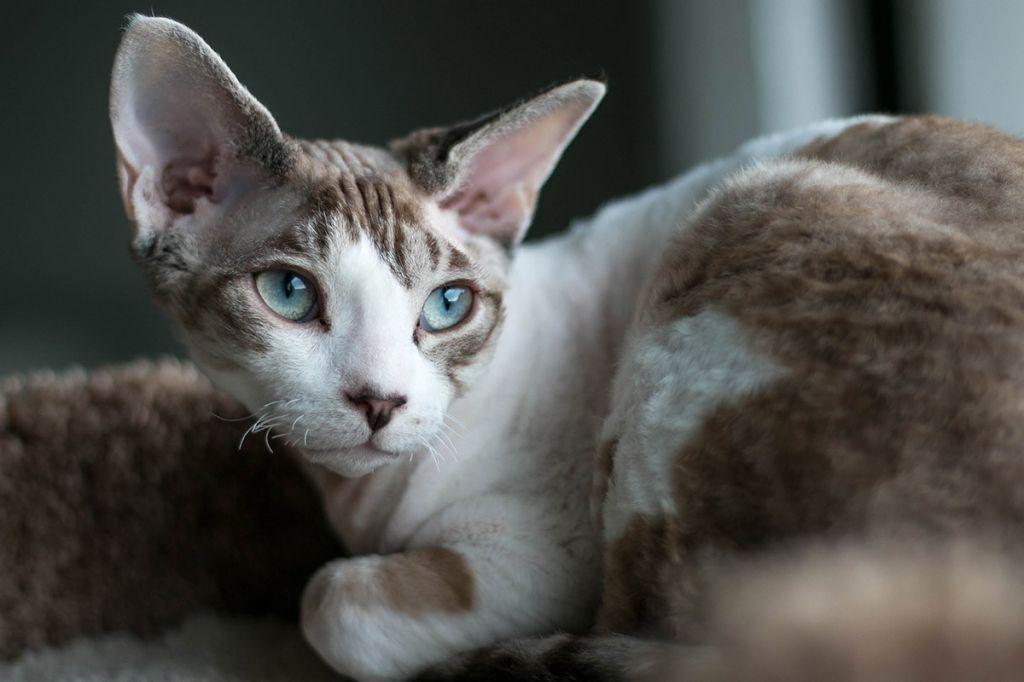 Девон рекс с голубыми глазами.jpg