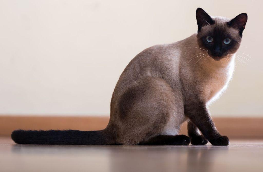 Картинки о сиамских котах