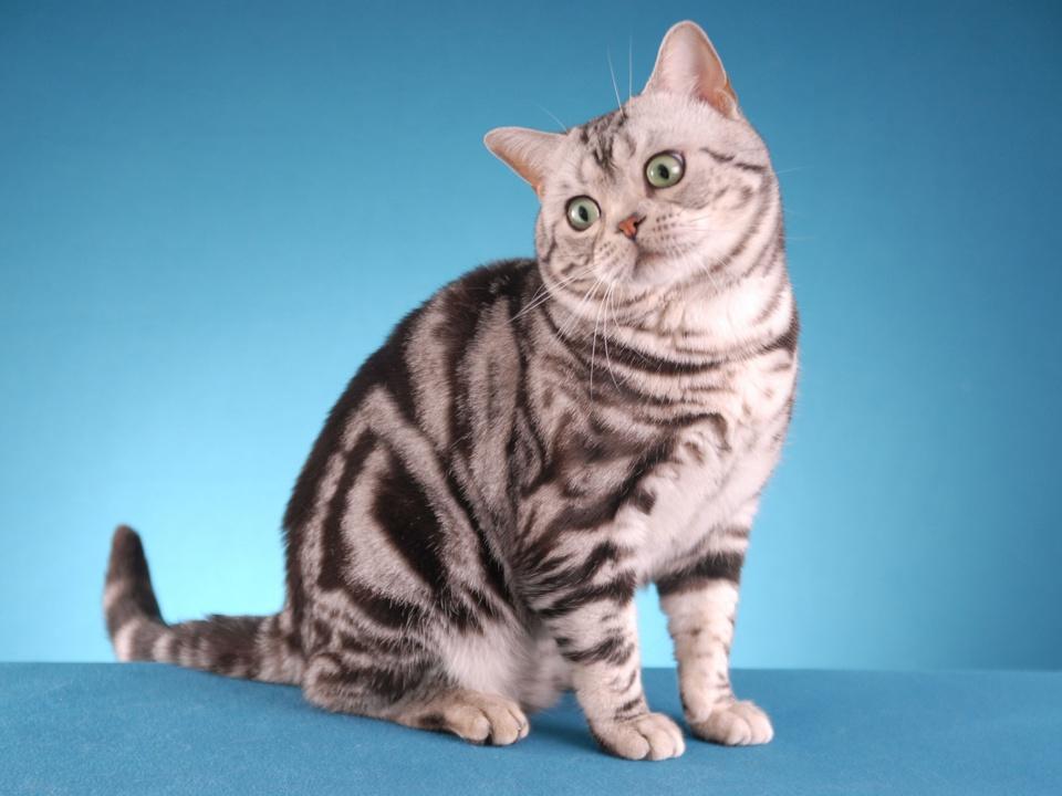 Картинки короткошерстных котят