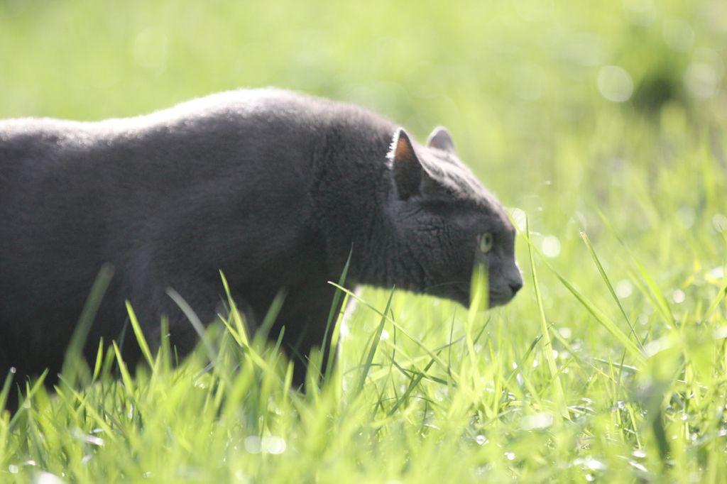 Русский голубой кот на охоте фото.jpg
