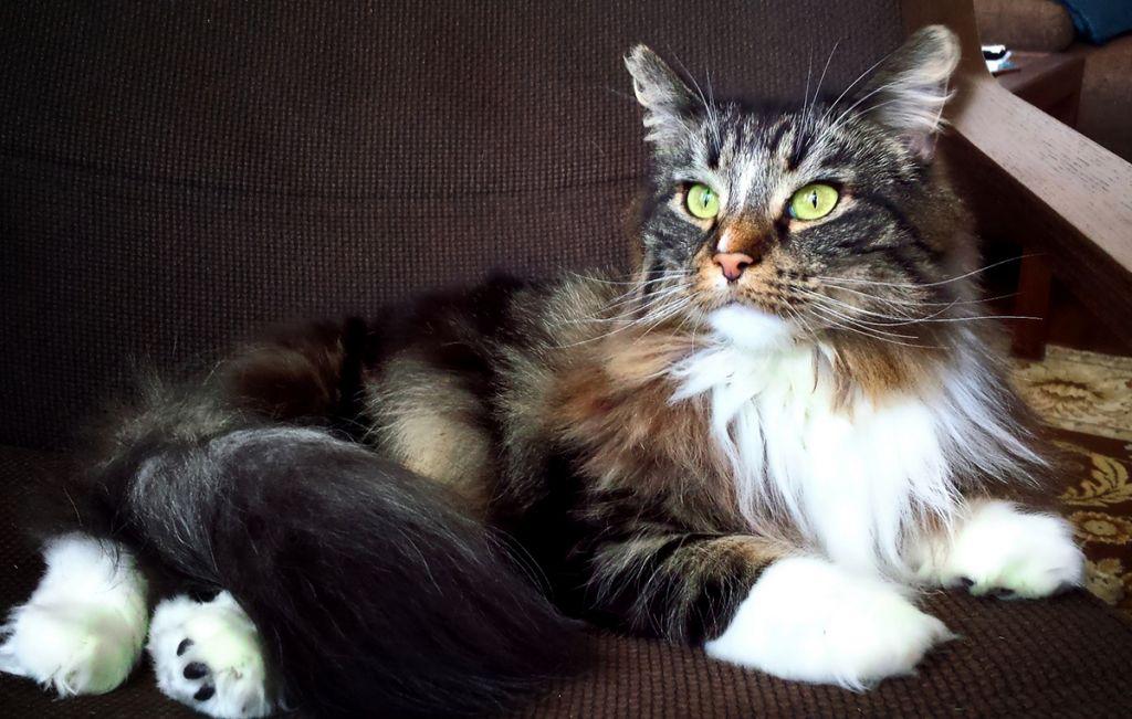 Норвежская кошка.jpg