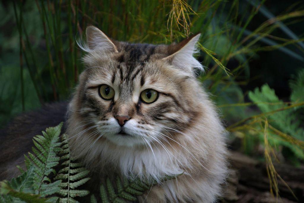 Кот сибиряк фото.jpg
