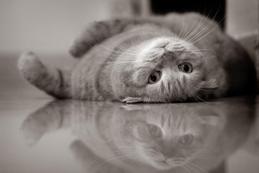 Вислоухий котик фото.jpg