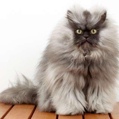 пушистая кошка турчанка