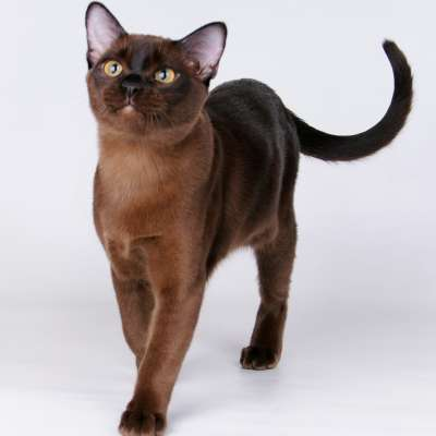 Бурманская кошка – Бурма 🐈