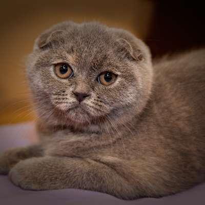 Скоттиш-фолд – Шотландская вислоухая кошка 🐈
