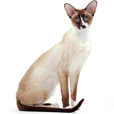 Сейшельская кошка: 🐈 грациозная восточная красавица