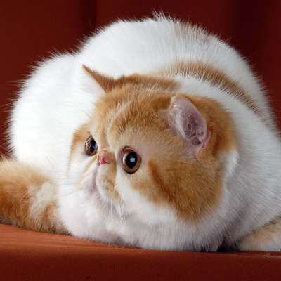 Экзотическая короткошёрстная кошка, фото, характеристика и особенности породы экзот, цена на котят, уход