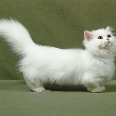 Кошка наполеон: 🐆 коротколапый пушистый питомец