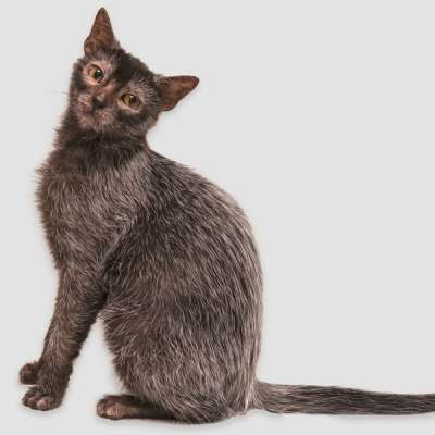 Ликой — кошка-оборотень