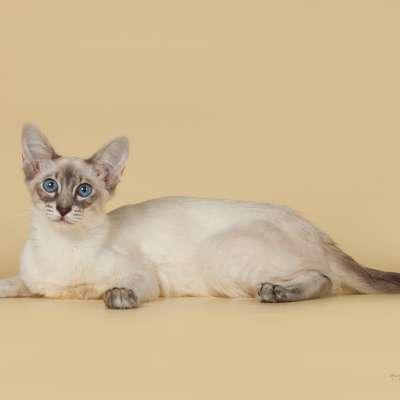 Порода котов балинез