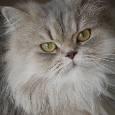 bengal cat spraying problem