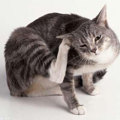 Паразиты на коже кошки