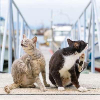 Блохи у кошек 🐈 Симптомы и лечение котов от паразитов