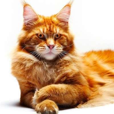 Мейкун кошка характеристика породы фото