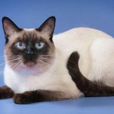 Тайская кошка: внешность, характер и уход