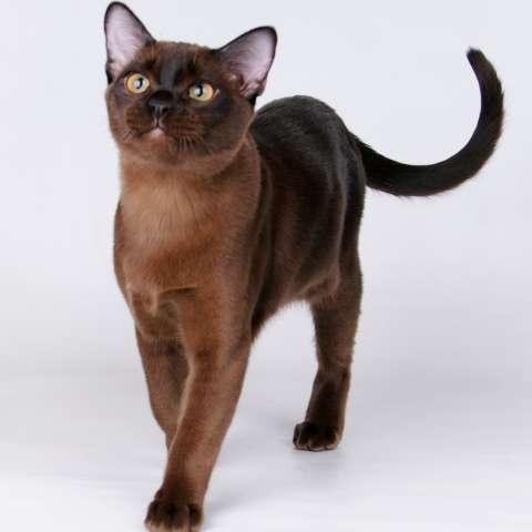 порода кошек бурма