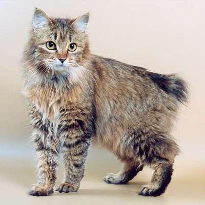 Кошки породы бобтейл курильский фото
