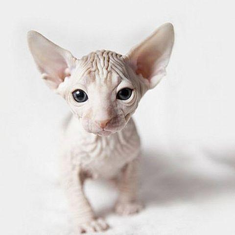 фото донского сфинкса кота