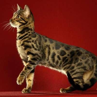 У каких пород кошек встречается окрас табби