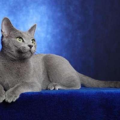 История русской голубой кошки