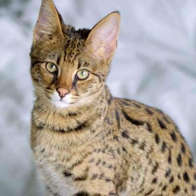 Кошка Ашера – редкая порода или афера мирового масштаба?
