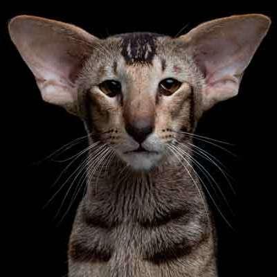 Ориентальная кошка характер описание породы