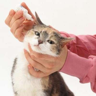 Ушной клещ у кошек ? Симптомы и лечение отодектоза