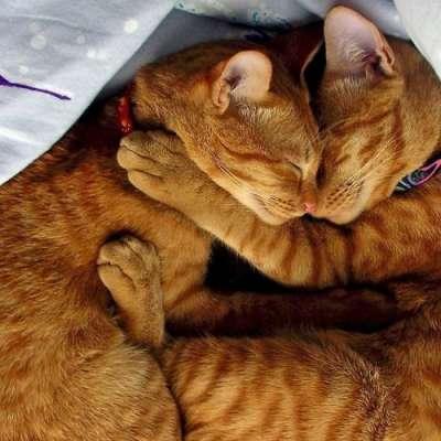 Сколько длится течка у кошек и как успокоить кошку