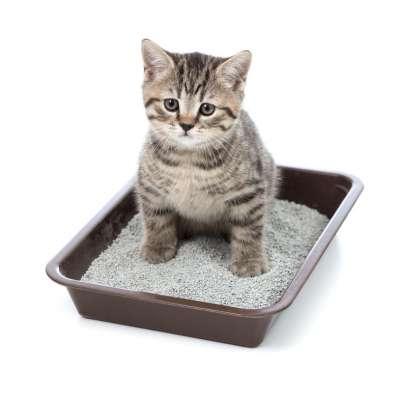 Как правильно и быстро приучить котенка ходить в лоток в домашних условиях