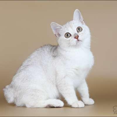 Кимрик 🐈 фото кошки, история и описание породы, характер, уход