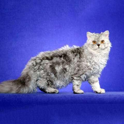 Селкирк Рекс кошки и коты