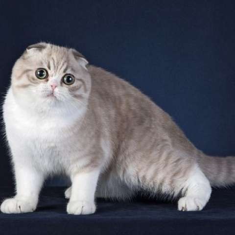 фото скоттиш-фолд шотландская вислоухая кошка