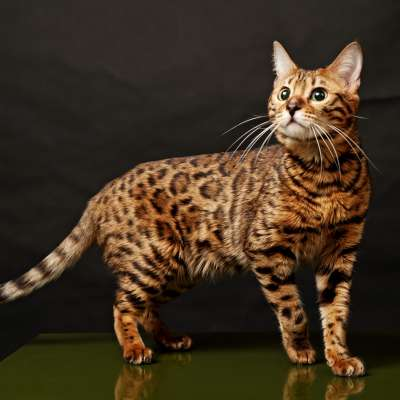 Бенгальский или леопардовый кот  домашний питомец с дикими предками