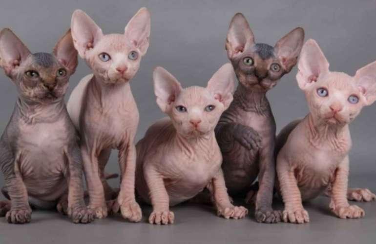 разновидности сфинксов кошек фото